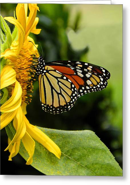 Monarch And The Sunflower Greeting Card