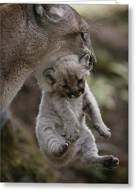 Mother Mountain Lion, Felis Concolor Greeting Card by Jim And Jamie Dutcher