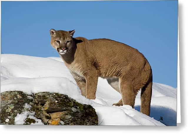 Mountain Lion Puma Concolor Greeting Card