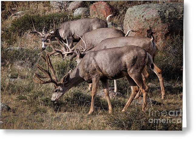 Mule Deer Bucks Greeting Card