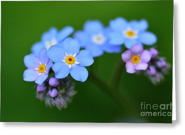 Greeting Card featuring the photograph Myosotis by Sylvie Leandre