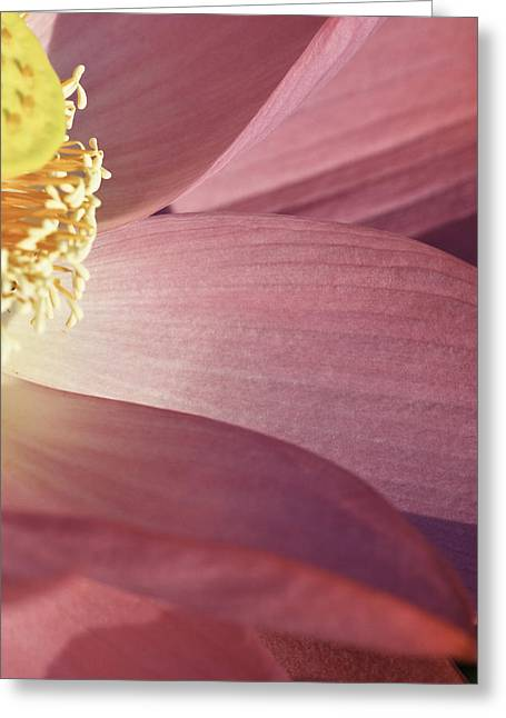 Greeting Card featuring the photograph Nelumbo 'red Scarf' by Perla Copernik