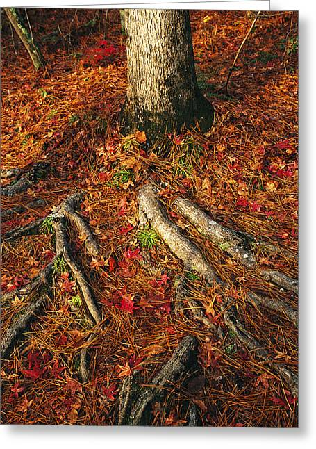 Oak Tree Roots And Pine Needles Greeting Card