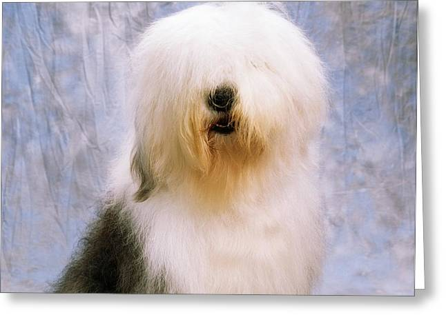 Old English Sheepdog Greeting Card by The Irish Image Collection