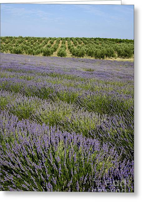 Olive Trees. Provence Greeting Card by Bernard Jaubert