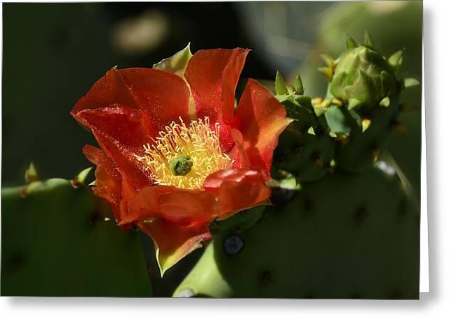Orange Prickly Pear Blossom  Greeting Card by Saija  Lehtonen