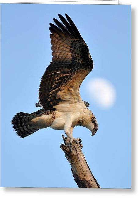 Greeting Card featuring the photograph Osprey In Flight by Rick Frost