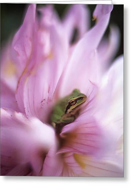 Pacific Treefrog On A Dahlia Flower Greeting Card by David Nunuk