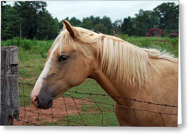 Palomino At Fence - C2840a Greeting Card by Paul Lyndon Phillips