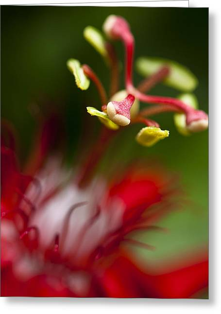 Passiflora Flower Greeting Card by Zoe Ferrie