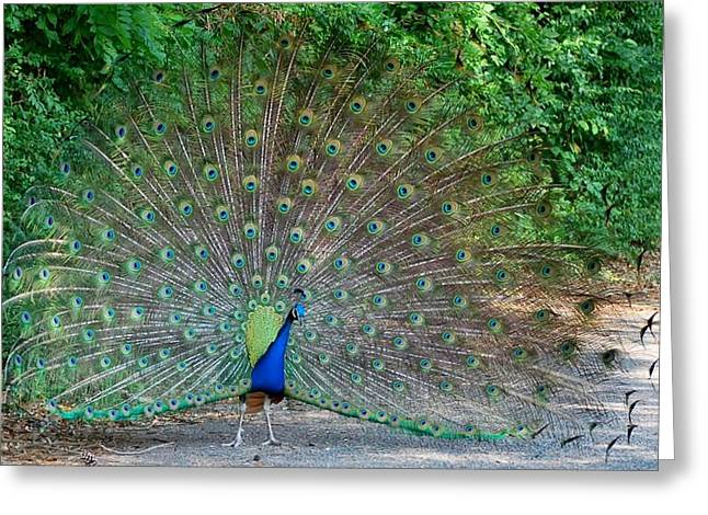 Peacock Greeting Card