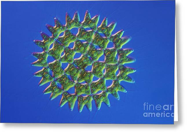 Pediastrum Sp. Algae, Lm Greeting Card by M. I. Walker