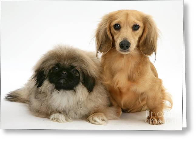 Pekingese And Dachshund Puppies Greeting Card by Jane Burton