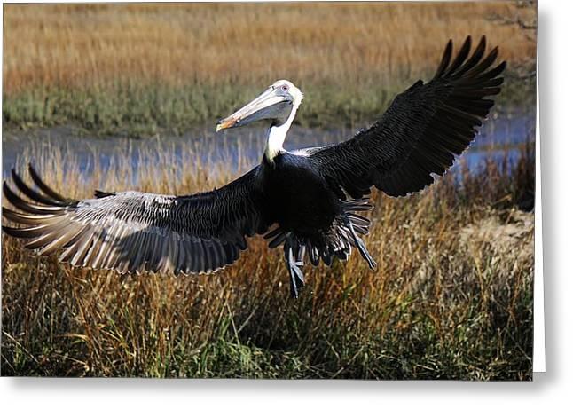 Pelican Wings Greeting Card by Paulette Thomas