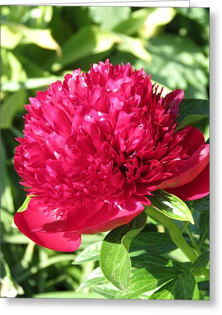 Greeting Card featuring the photograph Peony by Rebecca Overton