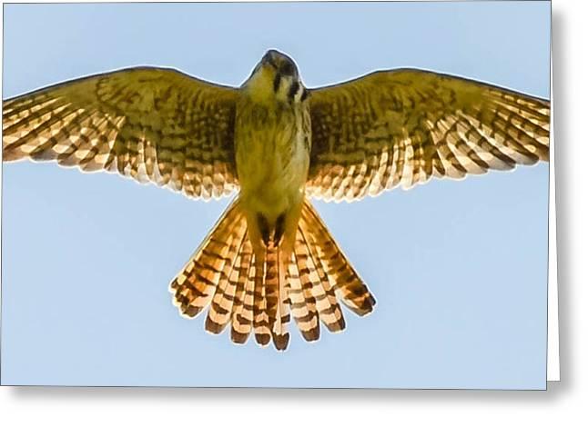 Peregrine Falcon Greeting Card by Brian Stevens