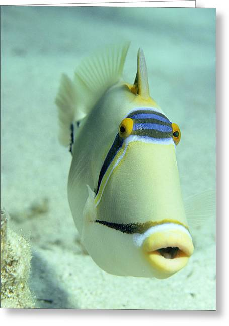 Picasso Triggerfish Greeting Card by Georgette Douwma