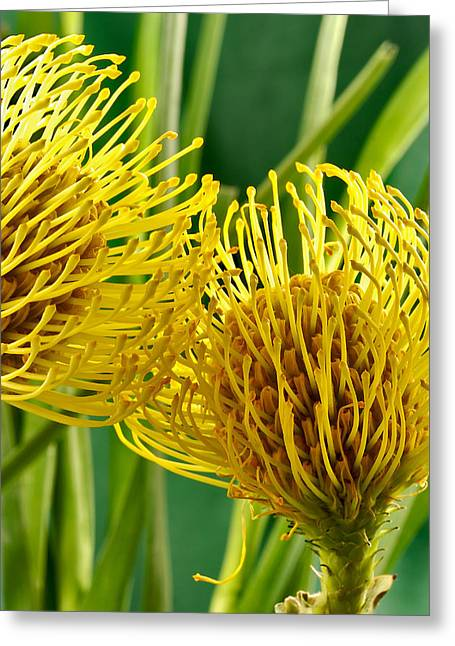 Picture Of A Pincushion Protea Greeting Card