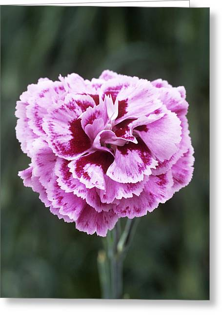 Pink Flower (dianthus 'cheryl') Greeting Card by Archie Young