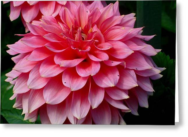 Pink Flowers Greeting Card by Kathy Long
