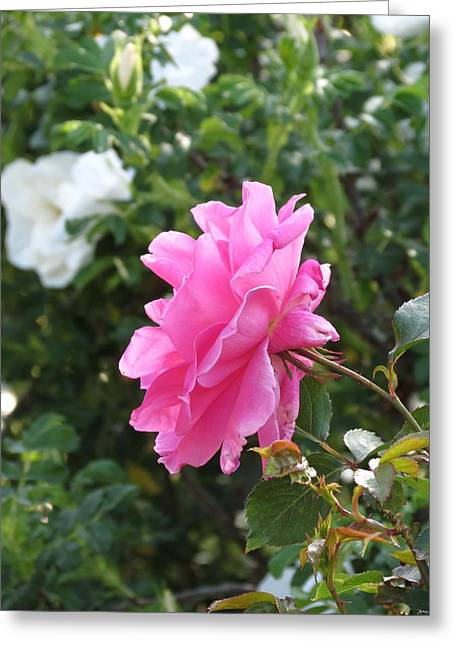 Greeting Card featuring the photograph Pink Rose by Rebecca Overton