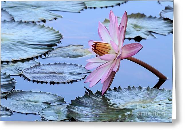 Pink Water Lily Greeting Card by Sabrina L Ryan
