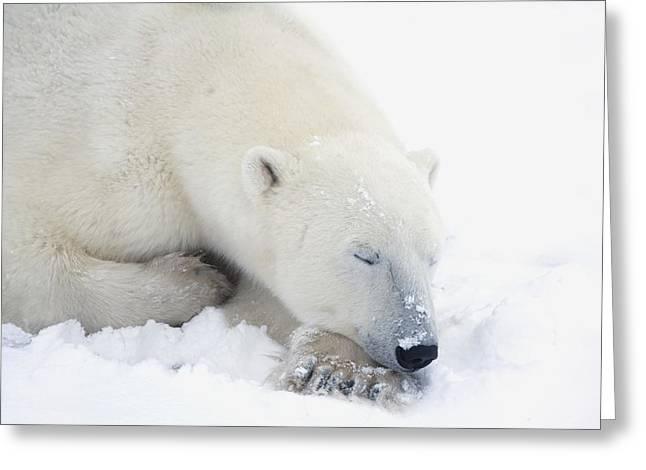 Polar Bear Ursus Maritimus Has His Eyes Greeting Card by Richard Wear
