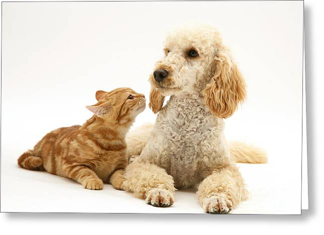 Poodle And Cat Greeting Card by Jane Burton
