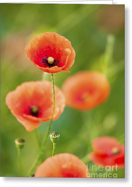 Poppies Greeting Card by Andrew  Michael