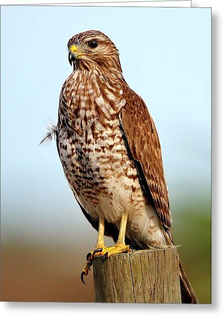 Portrait Of A Red Shouldered Hawk Greeting Card