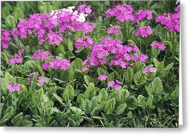 Primrose Flowers (primula Patens) Greeting Card by Dr. Nick Kurzenko