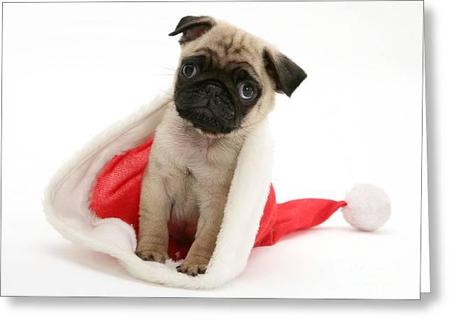 Pug Puppy Greeting Card by Jane Burton
