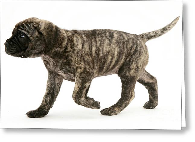 Puppy Trotting Greeting Card