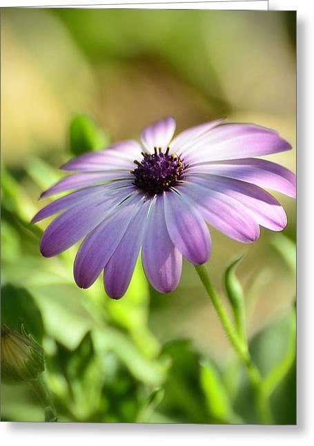 Purple Daisy  Greeting Card by Saija  Lehtonen