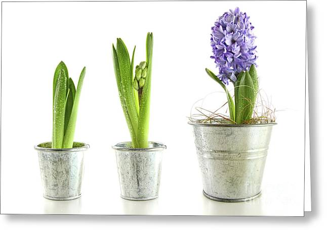 Purple Hyacinth In Garden Pots On White Greeting Card