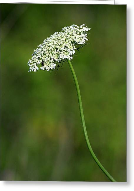 Queen Anne's Lace Greeting Card by Rick Rauzi
