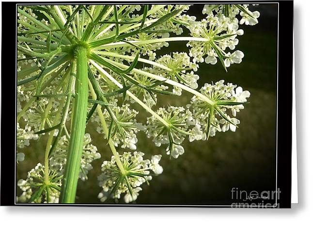 Queen Ann's Lace Greeting Card by Heinz G Mielke