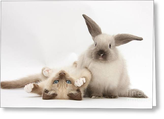 Ragdoll-cross Kitten And Young Greeting Card by Mark Taylor