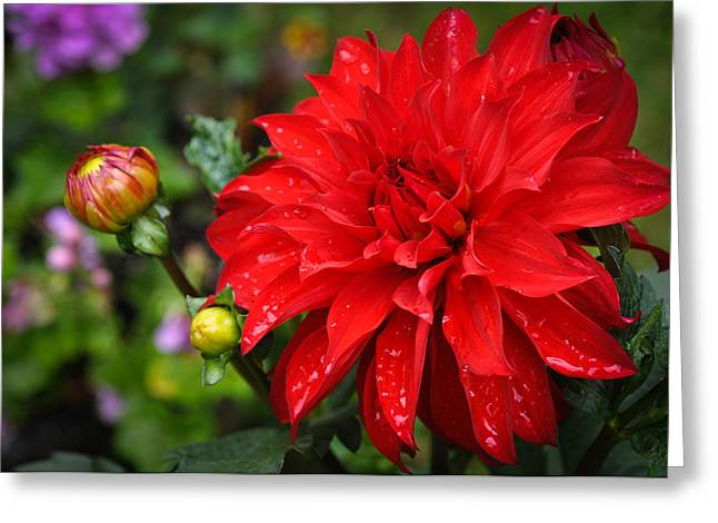 Rain And Red Dahlia Greeting Card by Ronda Broatch