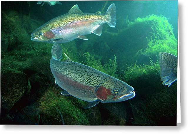 Rainbow Trout Oncorhynchus Mykiss Pair Greeting Card by Michael Durham