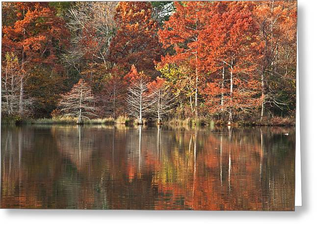 Red Cypress Trees Greeting Card by Iris Greenwell