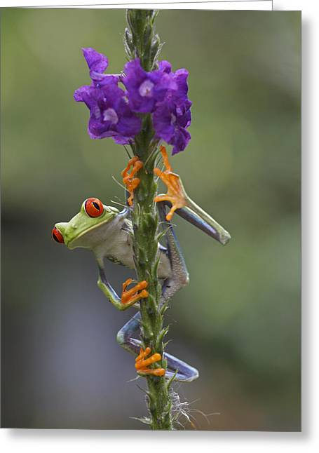 Red Eyed Tree Frog Climbing On Flower Greeting Card by Tim Fitzharris