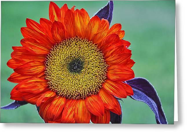 Red Sunflower  Greeting Card by Saija  Lehtonen