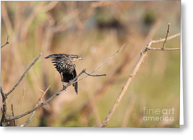 Greeting Card featuring the photograph Red-winged Blackbird by Jack R Brock