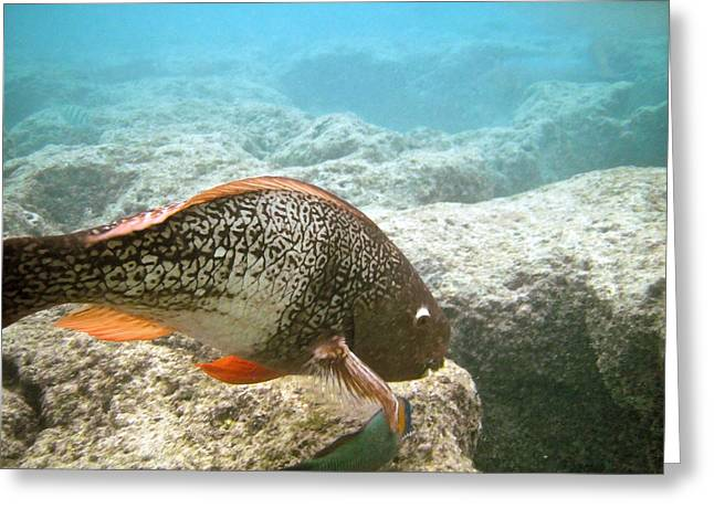 Redlip Parrotfish Greeting Card by Michael Peychich