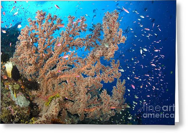 Reef Scene With Sea Fan, Papua New Greeting Card by Steve Jones