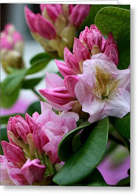 Rhododendron In Bloom Greeting Card by Valia Bradshaw