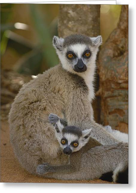 Ring-tailed Lemur Lemur Catta Mother Greeting Card by Pete Oxford