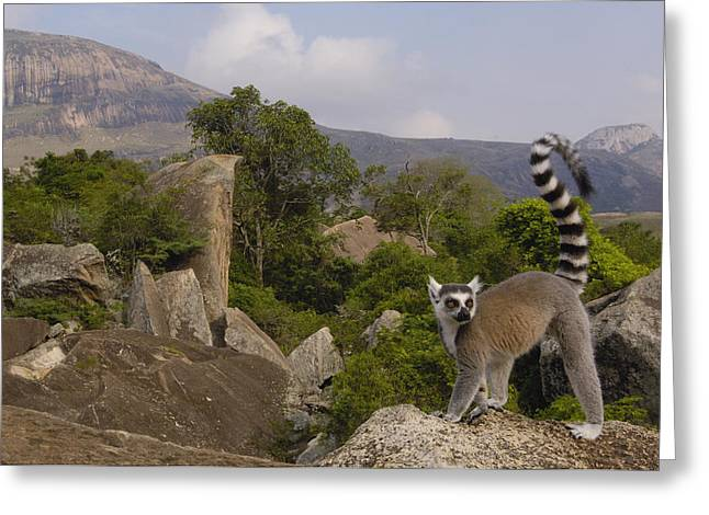 Ring-tailed Lemur Lemur Catta Portrait Greeting Card by Pete Oxford
