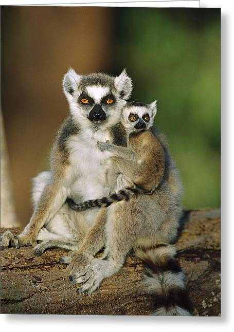 Ring-tailed Lemur Mother And Baby Greeting Card by Cyril Ruoso
